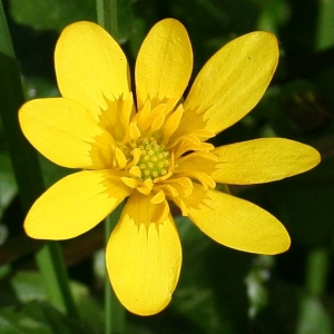 Celandine